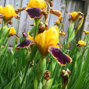Yellow and purple iris in bloom